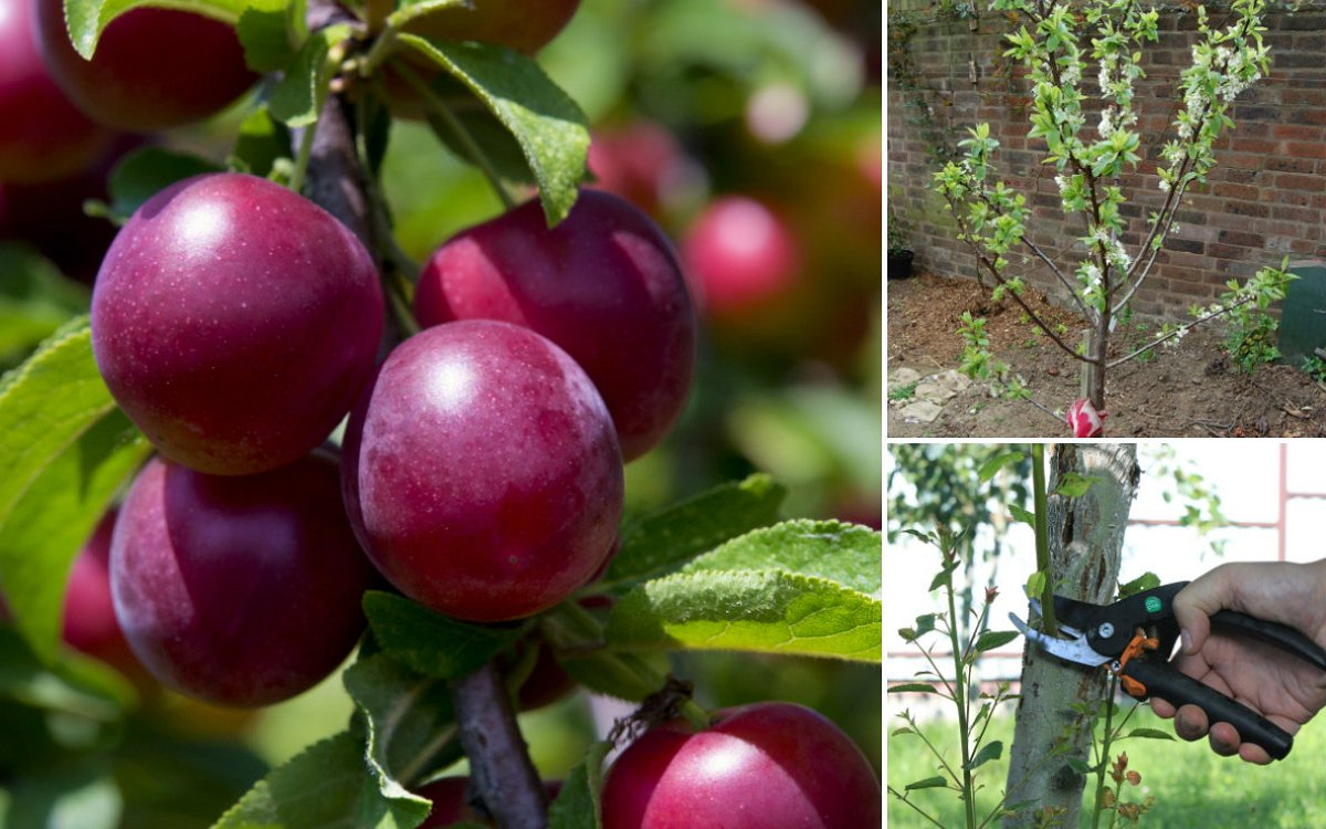 Выращивание сливы в саду – все о посадке, поливе, подкормках иобработках